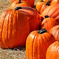 A selection of pumpkins of different shapes and sizes